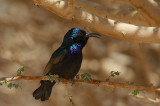Palestine Sunbird (Palestinasolfågel) Cynnyris osea