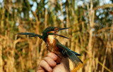 Common Kingfisher (Kungsfiskare) Alcedo atthis