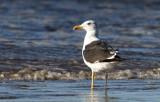 Lesser Black-backed Gull (Silltrut) Larus fuscus