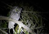 Tengmalm´s Owl (Pärluggla)  Aegolius funereus IMG_2354.jpg