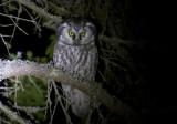 Tengmalm´s Owl (Pärluggla)  Aegolius funereus IMG_2376.jpg