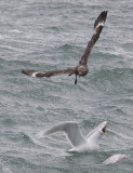 Great Skua and Glaucous Gull CP4P2659.jpg