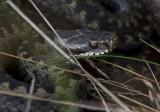 Viper (Huggorm) Vipera berus IMG_2319.jpg