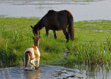 The Ponies of Chincoteague