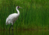 With a Whooping Crane