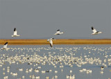 With the Snow Geese