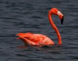 Greater Flamingo (Caribbean)