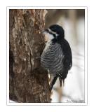 Pic à dos Noir / Black-Backed Woodpecker