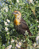 Carouge à Tête Jaune (juv) / Yellow-headed Blackbird (juv)