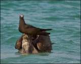 Common Noddy perched on a Pelican's head