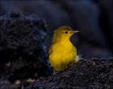 Galapagos Mangrove Warbler