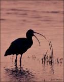 White-face ibis