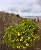 Galapagos Daisy