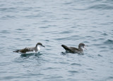 Buller's and Pink-footed Shearwater