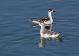 Wilson's and Red-necked Phalaropes