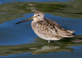 Dowitcher (sp)