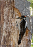 Male Hairy Woodpecker bringing food to the nest