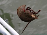 This horseshoe crab got caught in the fishing line