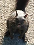 Begging Squirrel