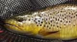 Montana Trout Fishing (1),  July 2009
