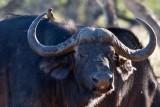 Cape Buffalo & Red-billed Oxpecker