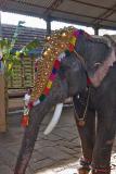 Caparisoned Elephant