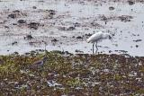 Egrets in a Rice Paddy