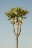Jelly Palm Tree