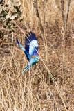 Abyssinian Roller in Flight