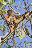 Red Colobus Monkey & Baby