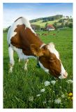 I'd like to be a Milka's cow