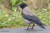 Bonte kraai - Hooded crow - Corvus Corone corvix