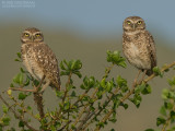 Holenuil - Burrowing Owl - Athene cunicularia