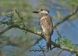Roestkeel-baardkoekoek - Russet-throated Puffbird - Hypnelus ruficollis