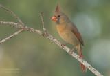 Rode Kardinaal - Northern Cardinal - Cardinalis cardinalis