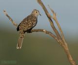 Zuidamerikaanse Inkaduif - Scaled Dove - Columbina squammata