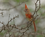 Vermiljoenkardinaal - Vermilion Cardinal - Cardinalis phoeniceus