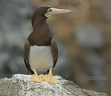 Bruine Gent - Brown Booby - Sula leucogaster