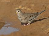 Musduif - Common Ground-Dove - Columbina passerina