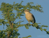 Tropische Spotlijster - Tropical Mockingbird - Mimus gilvus