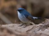 Leiblauwe Vliegenvanger - Slaty-blue Flycatcher - Ficedula tricolor