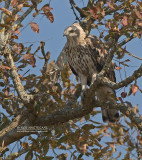Indische Kuifarend - Changeable Hawk-Eagle - Spizaetus cirrhatus