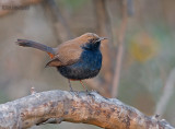Indische Paapje - Indian Robin - Saxicoloides fulicata
