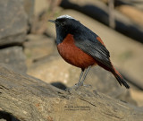 Rivierroodstaart - White-capped Water Redstart - Phoenicurus leucocephalus