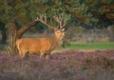 Edelhert - Red Deer - Cervus elaphus