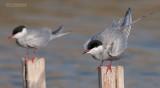 Witwangstern - Whiskered Tern - Clidonias hybridus