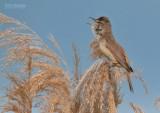 Grote Karekiet - Great Reed Warbler - Acrocephalus arundinaceus