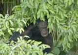 Chimpansee - Chimpanzee - Pan troglodytes
