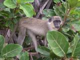 Geelgroene meerkat - Green monkey - Chlorocebus sabaeus
