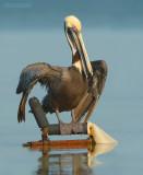 Bruine Pelikaan - Brown Pelican - Pelecanus occidentalis